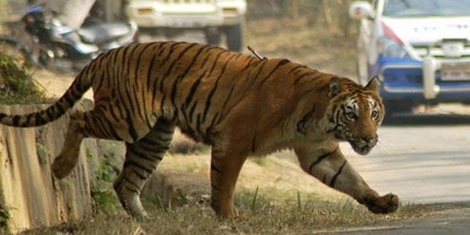 tiger-loose-490