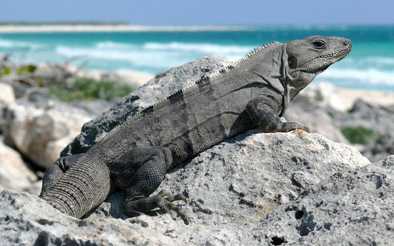 black_iguana